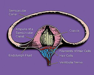 inner ear illustration showing semicircular canal, hair cells, ampulla, cupula, vestibular nerve, & fluid