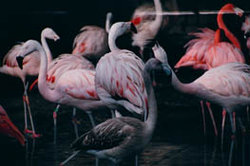 Flamingos are communal birds and are usually found in large flocks.