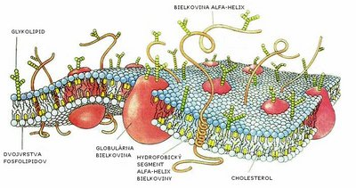 Drawing of a cell membrane